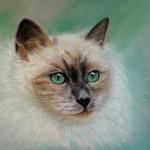 Portrait aux pastels : Chat Angora… ou Siamois ?