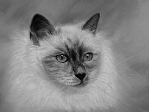peinture chat-portrait aux pastels-chat angora-peinture salomée