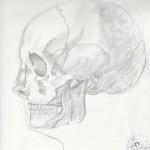 Crâne humain de profil